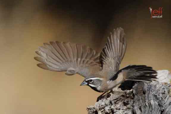 New Bird Species for Me - Black-chinned Sparrow