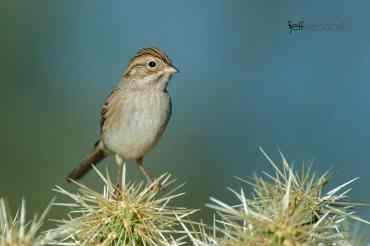 Brewer's Sparrow, Spizella breweri photographed by Jeff Wendorff