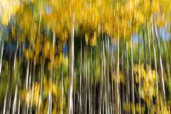 In Camera Blur - Aspen Grove