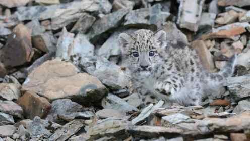Snow Leopard Kitten - Baby Wildlife Photography Workshop