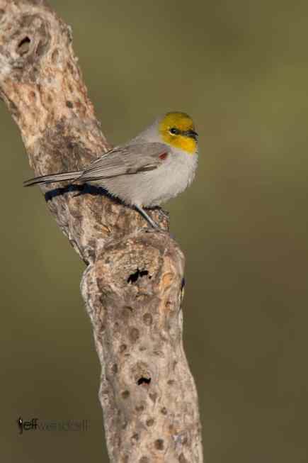 New Bird Species for me - Verdin