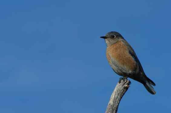 New Bird Species for me - Western Bluebird
