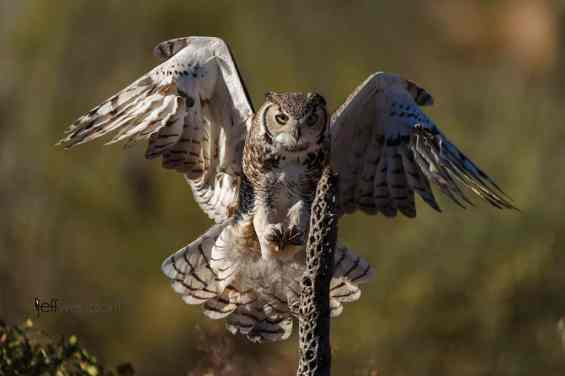 Great Horned Owl in Flight photographed by Jeff Wendorff