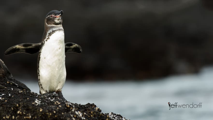 Photographing the Galapagos – Penguins
