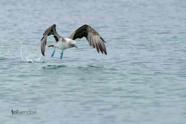 Blue-footed Booby, Sula nebouxii photographed by Jeff Wendorff
