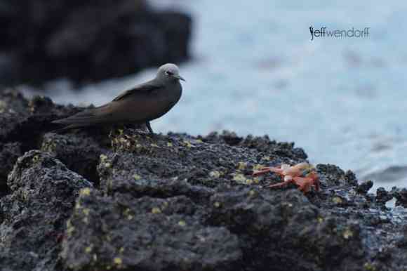 Brown Noddy, Anous stolidus. Also Common Noddy photographed by Jeff Wendorff