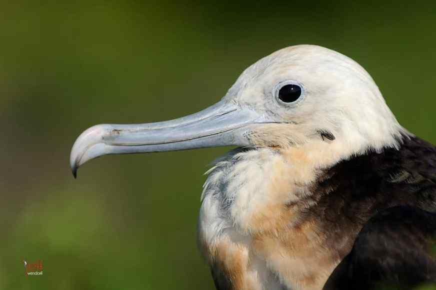 Great Frigatebird Juvenile photographed by Jeff Wendorff
