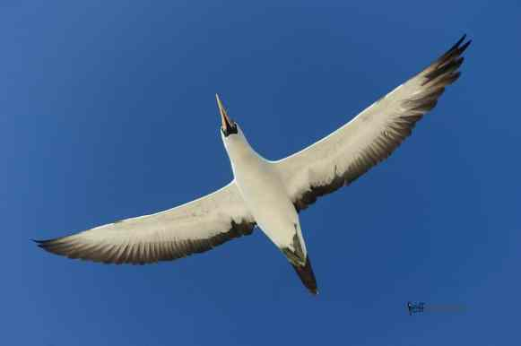 Nazca Booby, Sula granti photographed by Jeff Wendorff