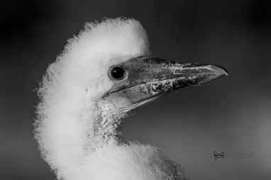 Red-Footed Booby, Sula Sula photographed by Jeff Wendorff