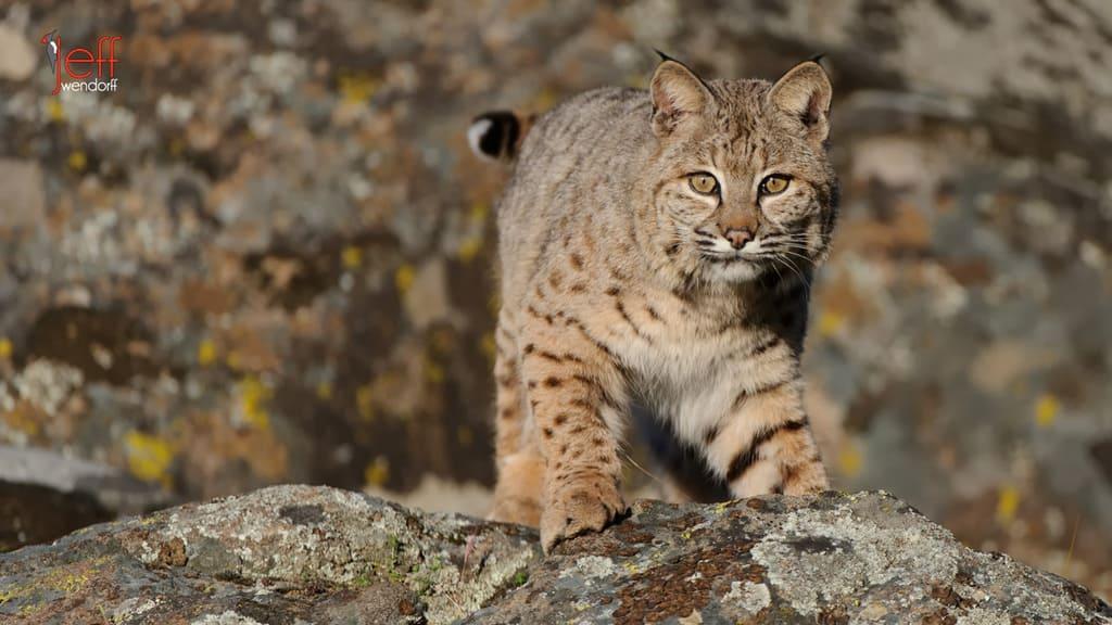 Wildlife Photography Workshop – Bobcats