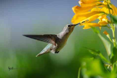 Bird Photography: Costa's Hummingbird, Calypte costae pollenating a Yellow Trumpet by Jeff Wendorff
