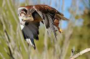 Bird Photography: Ferruginous Hawk, Buteo regalis by Jeff Wendorff