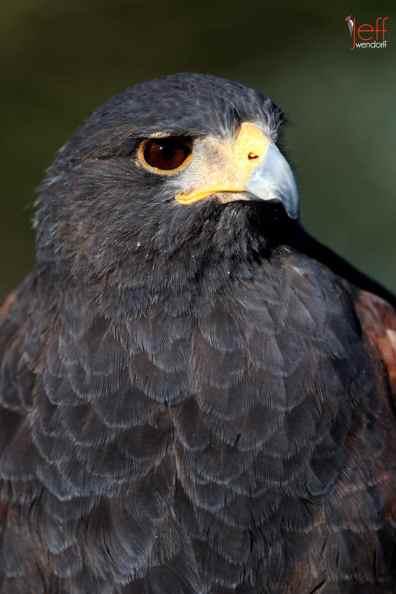 Bird Photography: Harris Hawk, Parabuteo unicinctus by Jeff Wendorff