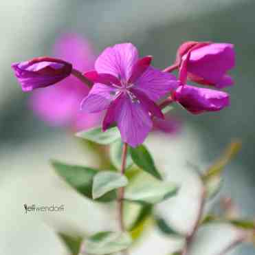 Dwarf Fireweed, Chamerion latifolium or River Beauty Willowherb photographed by Jeff Wendorff
