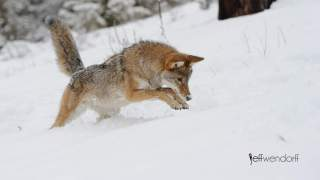 Winter wildlife photography workshop, coyote hunting photographed by Jeff Wendorff