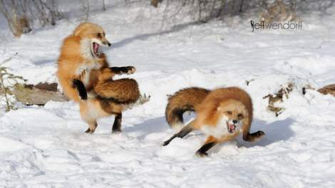 Winter wildlife photography workshop, red fox fighting photographed by Jeff Wendorff