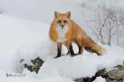 Winter wildlife photography workshop, red fox photographed by Jeff Wendorff