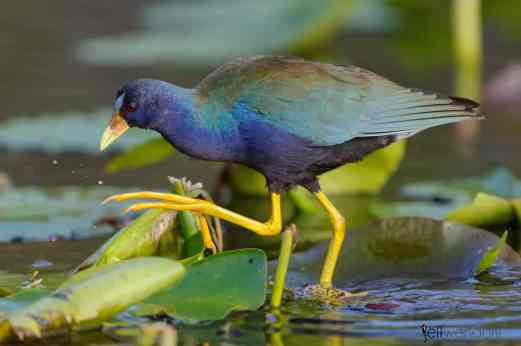 Purple Gallinule photographed with Nikon 500mm lens by Jeff Wendorff