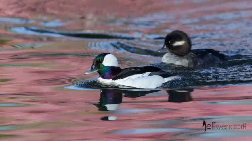 Male and Female Bufflehead photographed by Jeff Wendorff