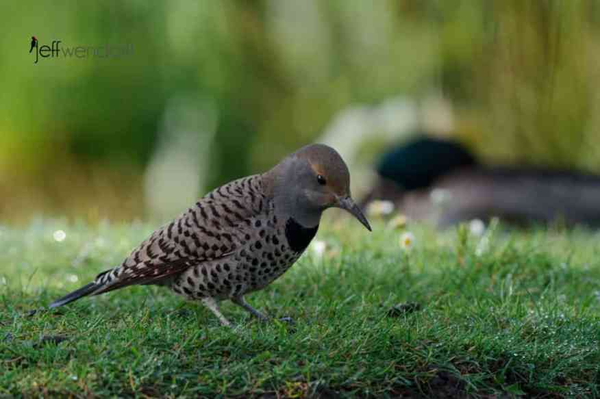 Northern Flicker photographed by Jeff Wendorff