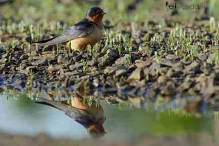 Barn Swallow photographed by Jeff Wendorff