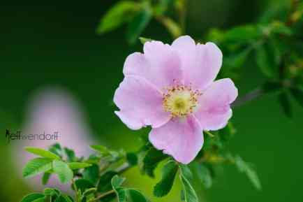 Pearhip Rose, Rosa woodsii photographed by Jeff Wendorff