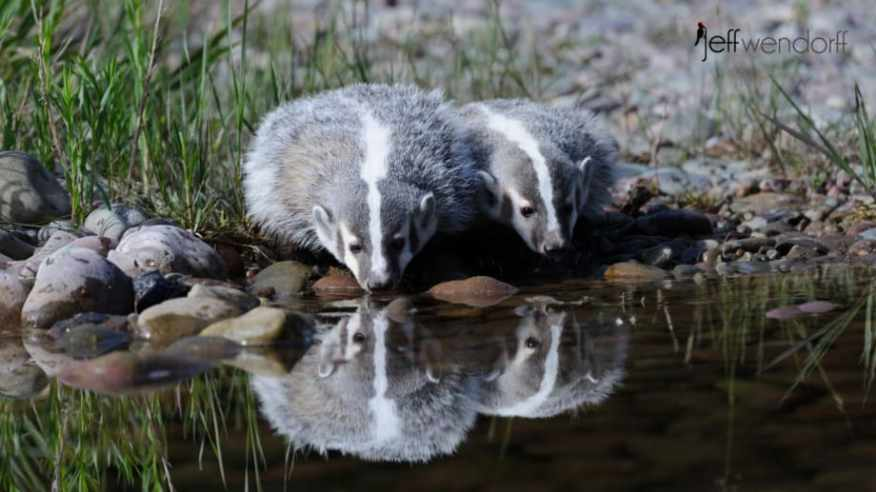 Pair of American Badgers drinking from a stream photographed by Jeff Wendorff