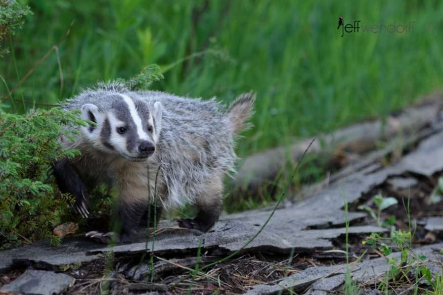 Juvenile American Badger on a log photographed by Jeff Wendorff