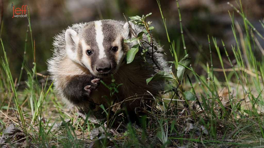 Juvenile Badger Photos
