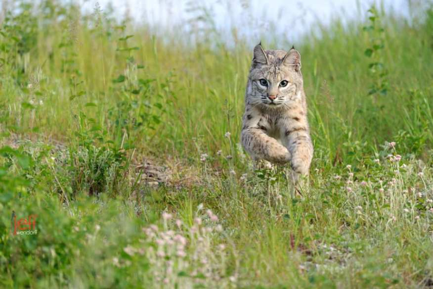 Juvenile Bobcat running at the photographer photographed by Jeff Wendorff