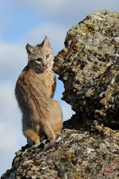 Juvenile Bobcat on some rocks looking over his shoulder photographed by Jeff Wendorff