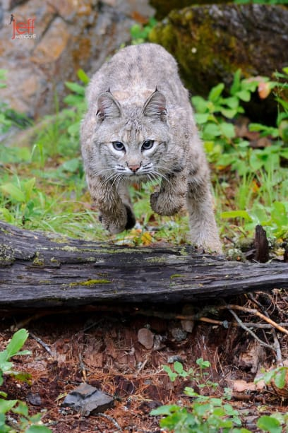 Young Bobcat jumping a log photographed by Jeff Wendorff