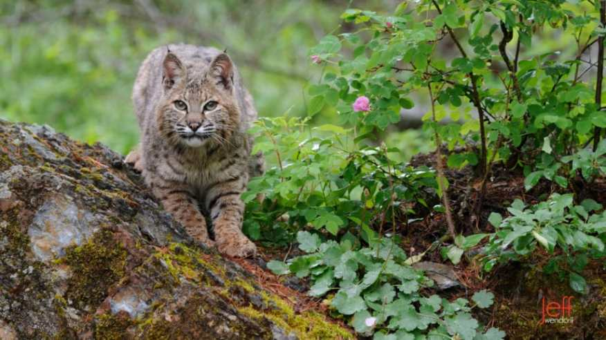 Adult bobcat in a forest photographed by Jeff Wendorff