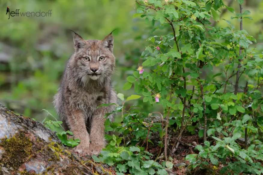 Canada Lynx on a boulder photographed by Jeff Wendorff