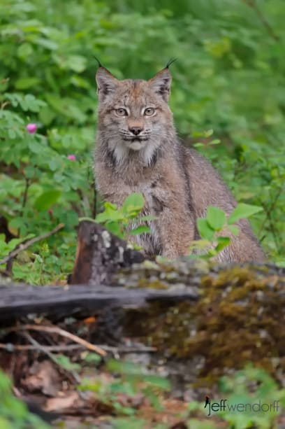 Canada Lynx looking at the photographer Jeff Wendorff