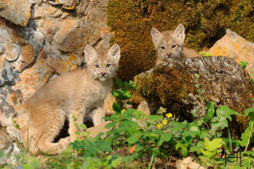A pair of Canada Lynx Kittens curious about the photographers photographed by Jeff Wendorff