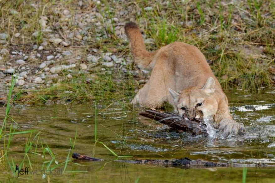 A cougar biting a log on the water photographed by Jeff Wendorff