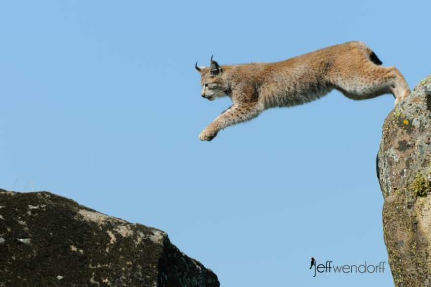 Eurasian Lynx leaping between boulders photographed by Jeff Wendorff