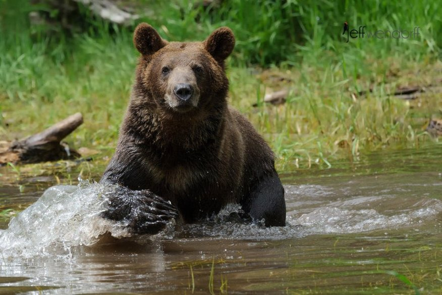 fully alert grizzly bear in the water watching photographed by Jeff Wendorff
