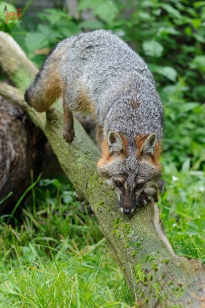 Grey Fox climbing down a fallen tree limb photographed by Jeff Wendorff