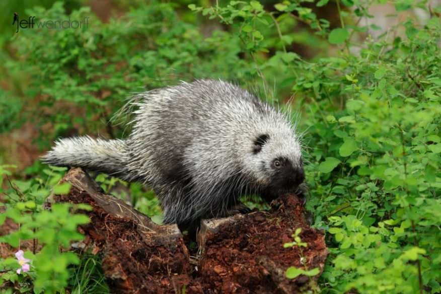 Porcupine on an old log photographed by Jeff Wendorff