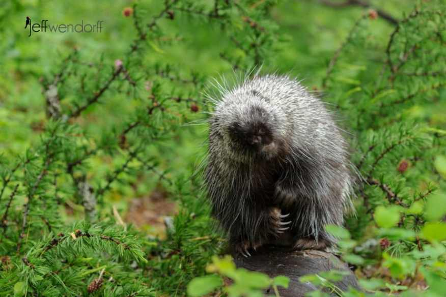 Porcupine with an inquisitive look towards the photographer, Jeff Wendorff