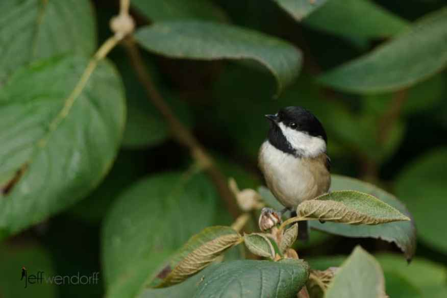 Black-capped Chickadee hiding in the foliage photographed by Jeff Wendorff