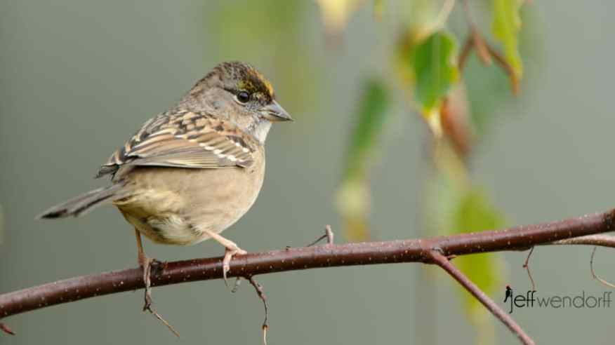 First winter Golden-crowned Sparrow photographed by Jeff Wendorff