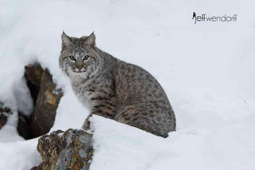 Bobcat perched on a snowy ledge photographed by Jeff Wendorff