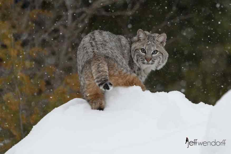Bobcat looking back over it's shoulder at the photographer atop a snowy hill, photographed by Jeff Wendorff