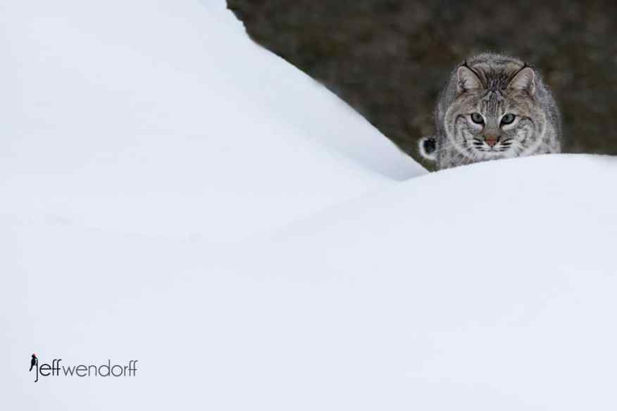 A bobcat ready to pounce from atop a snowy hill photographed by Jeff Wendorff