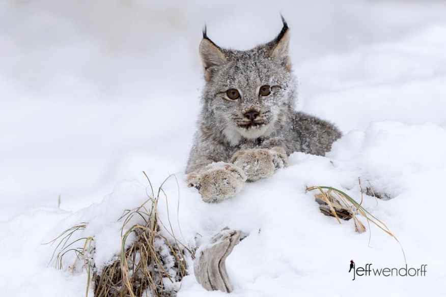 """Juvenile Canada Lynx """"posing"""" with it's paws crossed on a log looking at the photographer Jeff Wendorff"""