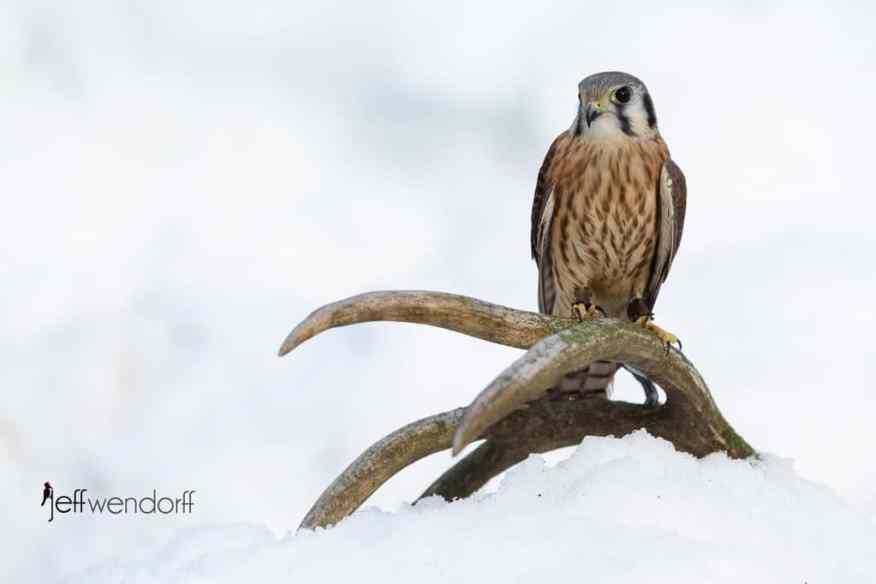 American Kestrel on a deer antler perch in the snow photographed by Jeff Wendorff