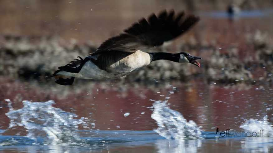 High speed flight of the Canada Geese chasing away the opposing Goose photographed by Jeff Wendorff